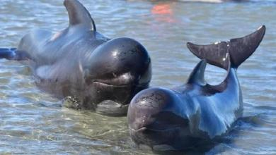 Nearly 50 pilot whales washed up in New Zealand