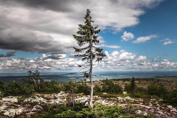 Old Tjikko: Fulufjallet National Park, Sweden