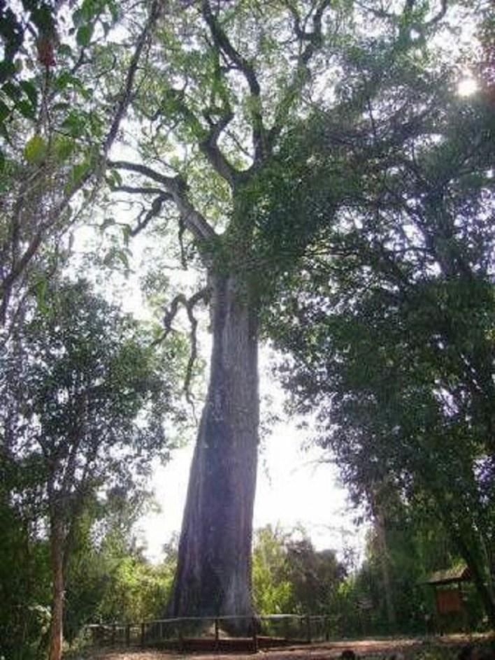 Patriarca da Floresta: Vassununga State Park, Brazil