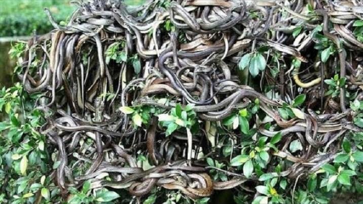 Queimada Grande, the island of snakes
