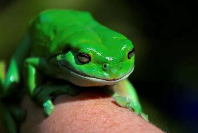 The Australian green tree frog