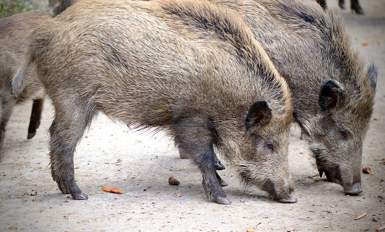 Wild boars surround a woman in Italy and steal her groceries