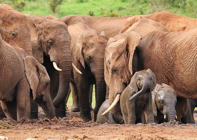 How African elephants gossip about people