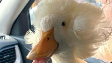 A duck named Gertrude and what she became famous for