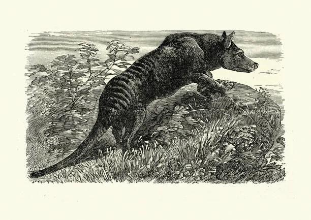 Tasmanian marsupial wolf, the thylacine