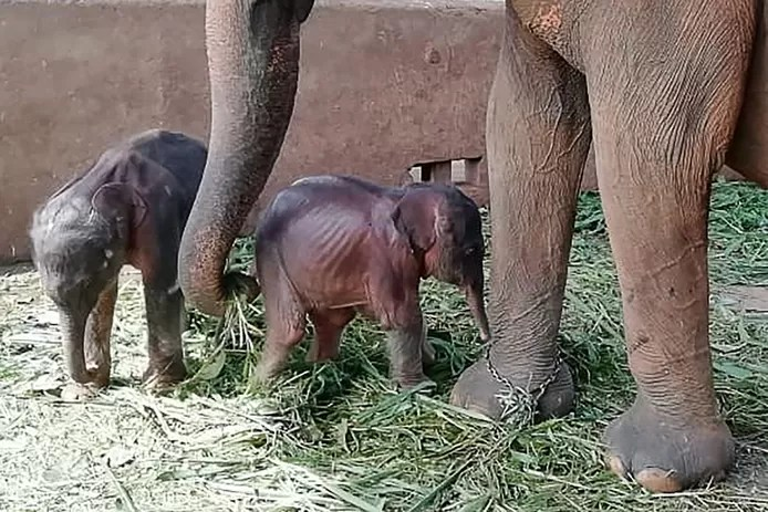 elephant gives birth to twins