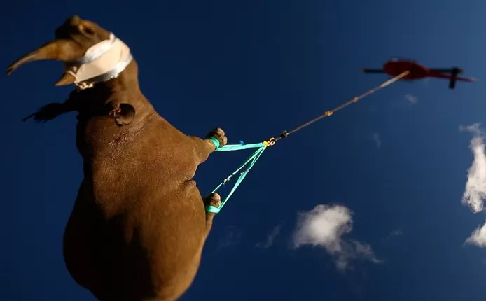 Rhinos are better transported upside down than on their side.