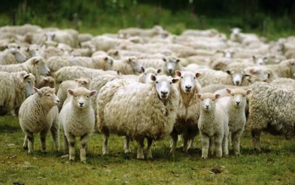 Les moutons 20 des animaux les plus intelligents au monde