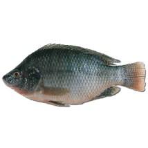 Tilapia: le poisson le plus consommé au monde