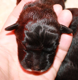 newborn puppy's head held in hand