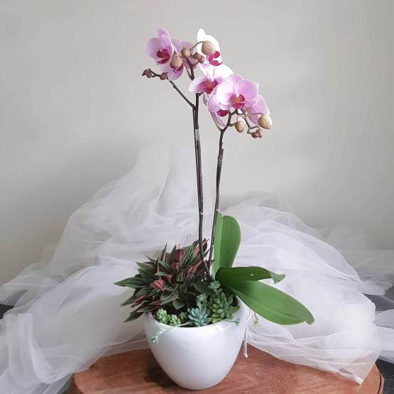 Orchid Potted Plant with Succulent & Greens by AfterRainFlorist, PJ Florist, KL & Selangor Flower Delivery