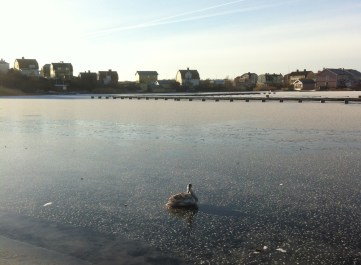 Seekor angsa yang lagi sunbathing di atas es. Brrr!