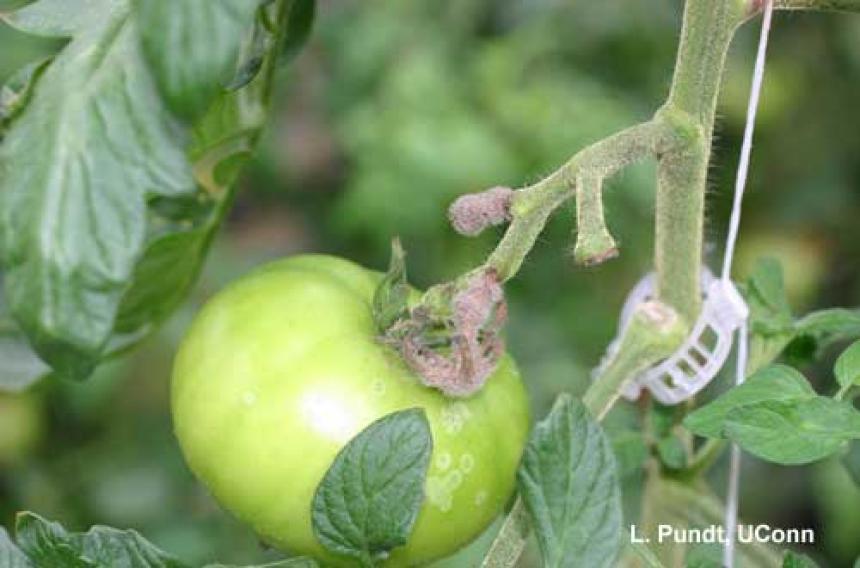 botrytis on tomato factsheet cornell university - 860×568