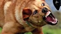 """عصابة خطيرة بأكادير تستعين بكلب """"بيتبول""""، تقع في قبضة رجال الدرك"""