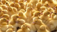 الحكومة تسمح باستيراد 15 مليون كتكوت لخفض أسعار الدجاج