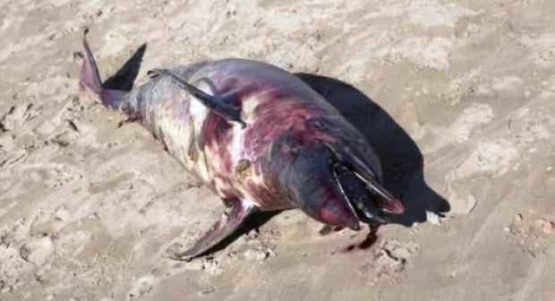 شاطئ أكادير يلفظ دلفينا نافقا، و أنباء عن تعرضه للمطاردة و الصيد العشوائي.