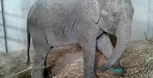 """""""فيديو"""" مؤثر لفيلة صغيرة تبكي بعد إبعادها عن والدتها"""