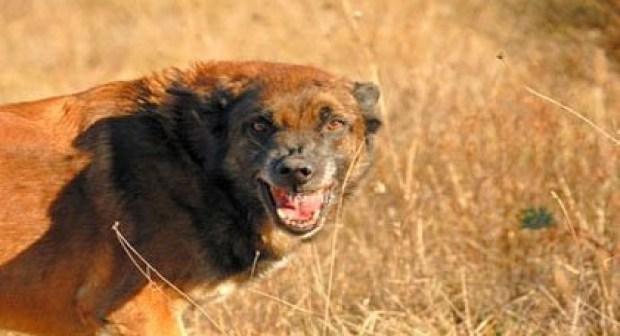 """عااجل بأيت ملول:عضة كلب """"شرس"""" ترسل امرأة إلى المستشفى في حالة حرجة،  والجهات المعنية في سبات عميق"""