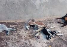 أكادير: نفوق عدد من رؤوس الماعز في مشاهد مقززة، حظيت فيها الكلاب بولائم مجانية.(+صور)