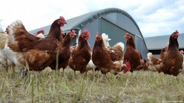 لهذا السبب مهنيون يحذرون من خطورة استهلاك الدجاج «الكروازي»