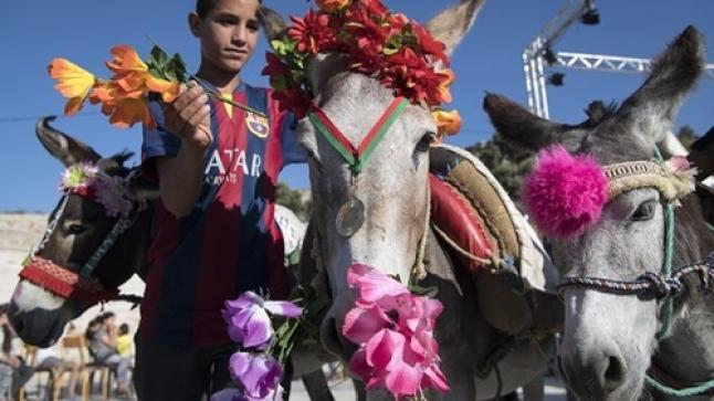 تتويج ملكة جمال الحمير بالمغرب