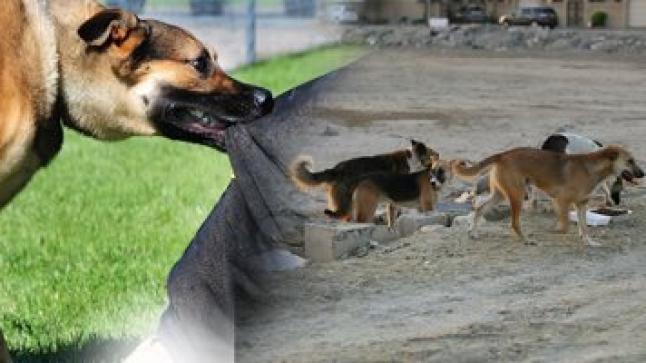 """كلاب مسعورة تهدد حياة ساكنة """"أفرني"""" ضواحي أكادير"""