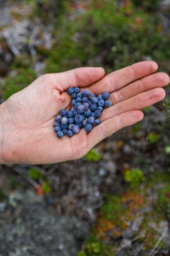 Wild Maine blueberries— a little tart but delicious!