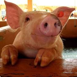 Un cerdo sonriente