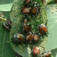 Why Do Gardeners So Detest the Jewel-like Japanese Beetle?