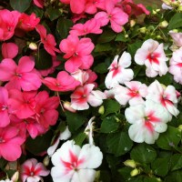 Impatiens are Dying -- Will they soon be Extinct?