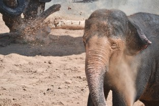 Riba accidentally sprays mud in her face on Elephant Appreciation Day at the Phoenix Zoo in Tempe, Arizona on September 27, 2015.
