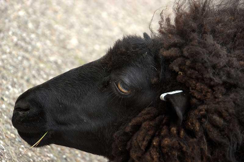 Baba-Baba Black Sheep