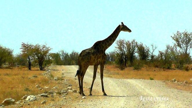 Souvenir de girafe