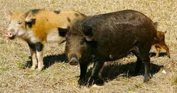 Family of feral swine