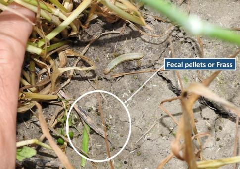 Fecal pellets or frass