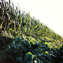 2016 Corn Soybeans