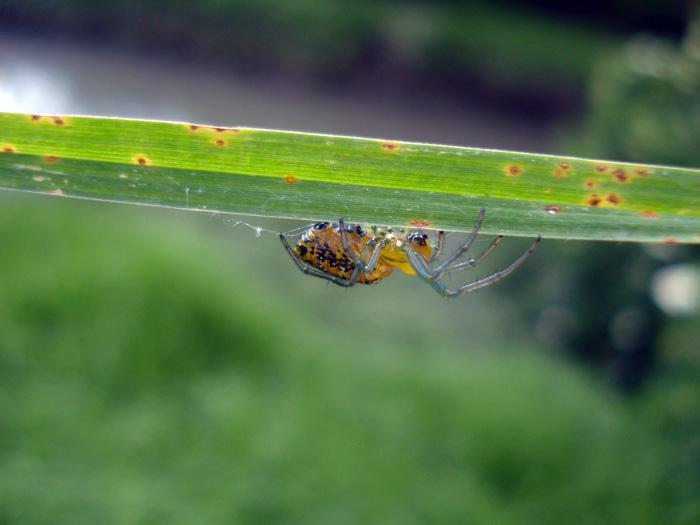 Araña en el humedal Córdoba