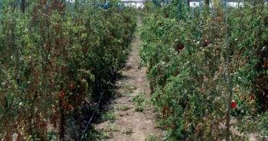 Escuela provincia de Córdoba suspende las clases por el olor de una tomatera