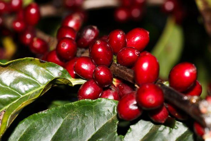 Plantação de Café na Embrapa Cerrado