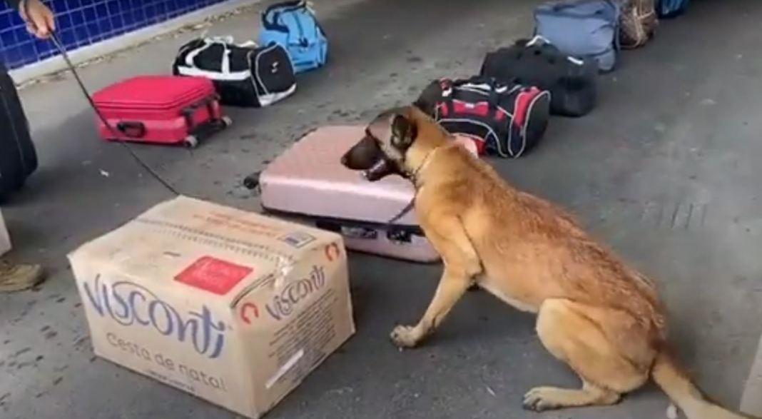 cão farejador prf k9 vitória da conquista