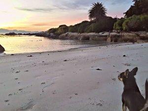 jasper in simonstown on the beach