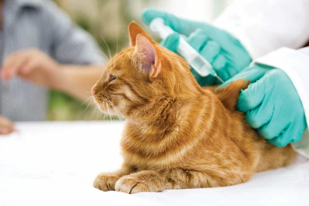 ¿Alérgico a los gatos? Desarrollan vacuna para que no provoquen alergias