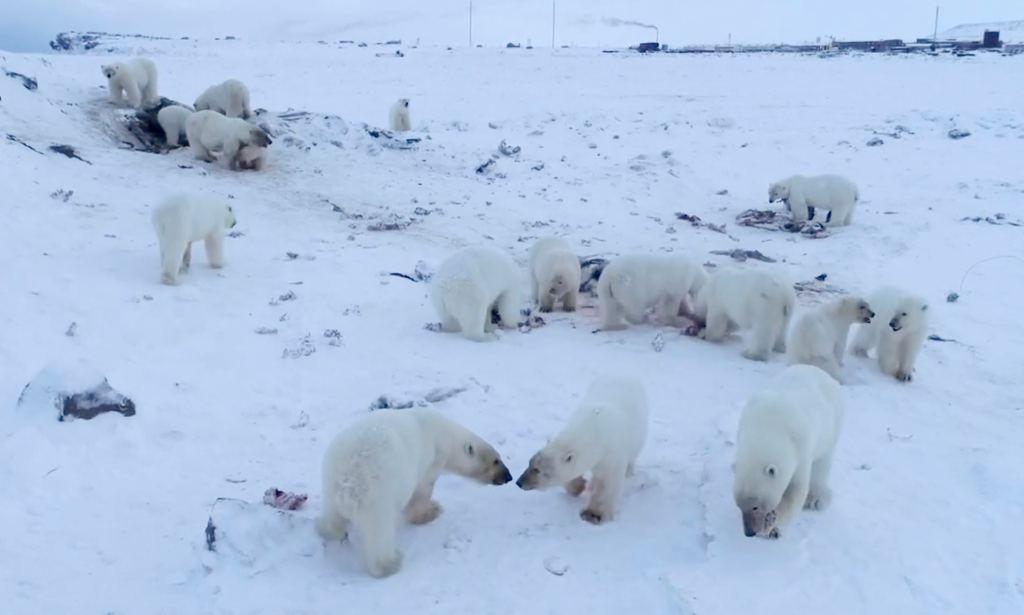 Más de 50 osos polares hambrientos y flacos invaden aldea en Rusia