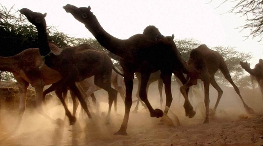 Autorizan matar 10 mil camellos salvajes en Australia por escasez de agua