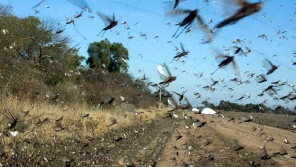 ¡Otra plaga! Argentina y Brasil monitorean enjambres masivos de langostas VIDEO