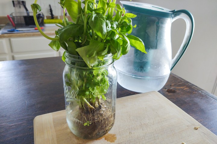 Fresh Basil in Mason Jar with water over roots