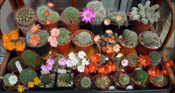 Виды домашних кактусов фото и названия – все фото и ...
