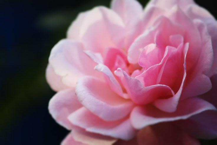rose-597755_1920
