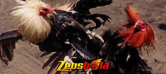 Cara Taruhan Judi Sabung Ayam Online S128