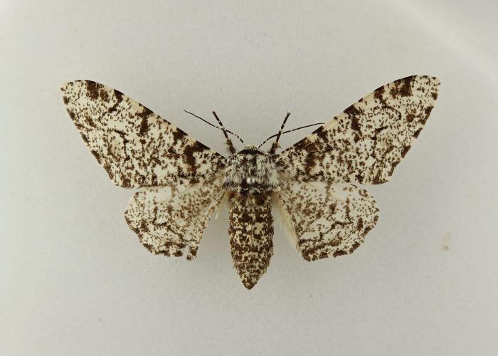 A photograph of a white and brown speckled moth